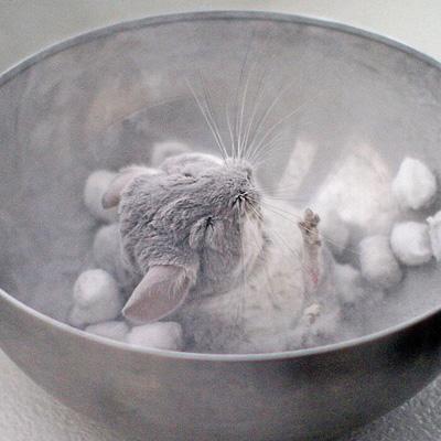 Cute-Baby-Chinchilla-Photos-1
