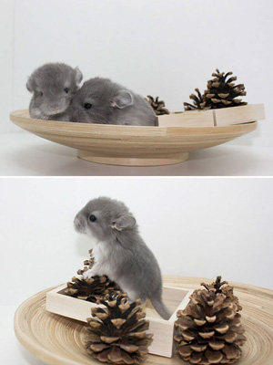 Cute-Baby-Chinchilla-Photos